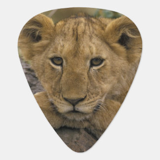 Africa, Kenya. Portrait of a lion. Guitar Pick