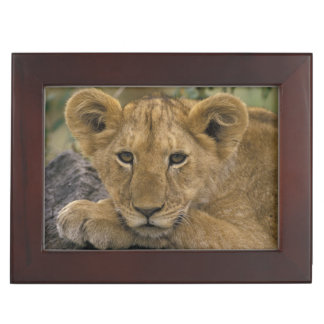 Africa, Kenya. Portrait of a lion. Keepsake Box