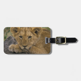 Africa, Kenya. Portrait of a lion. Luggage Tags