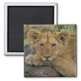 Africa, Kenya. Portrait of a lion. Magnet