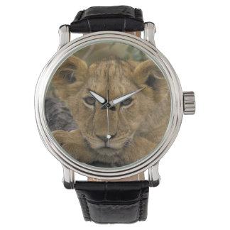 Africa, Kenya. Portrait of a lion. Watch