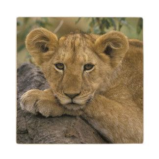 Africa, Kenya. Portrait of a lion. Wood Coaster