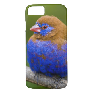 Africa. Kenya. Purple Grenadier male at Lake iPhone 8/7 Case