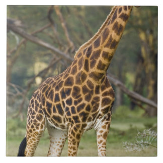 Africa. Kenya. Rothschild's Giraffe at Lake 2 Tile