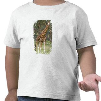 Africa. Kenya. Rothschild's Giraffe at Lake 2 Tees