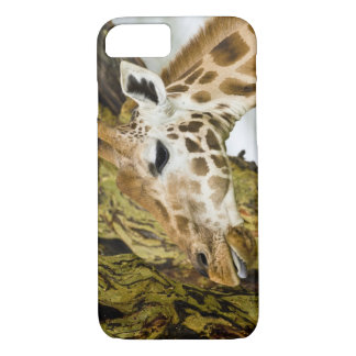 Africa. Kenya. Rothschild's Giraffe at Lake 3 iPhone 8/7 Case