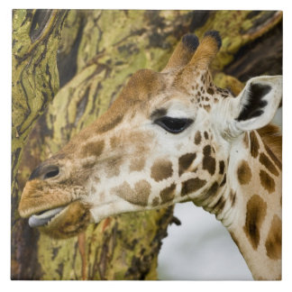 Africa. Kenya. Rothschild's Giraffe at Lake 3 Tile