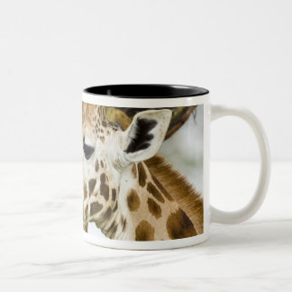 Africa. Kenya. Rothschild's Giraffe at Lake 3 Two-Tone Coffee Mug