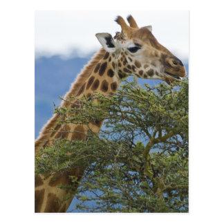 Africa. Kenya. Rothschild's Giraffe at Lake Postcard