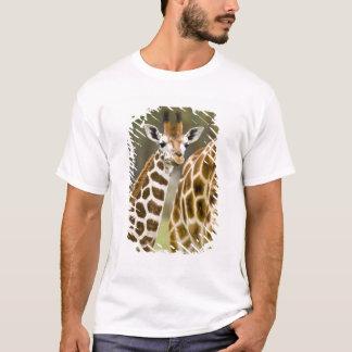 Africa. Kenya. Rothschild's Giraffe baby with 2 T-Shirt