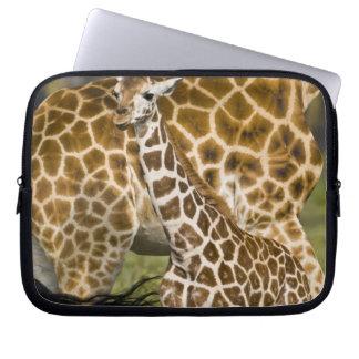 Africa. Kenya. Rothschild's Giraffe baby with Laptop Sleeve