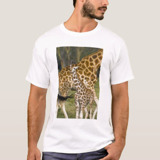 Africa. Kenya. Rothschild's Giraffe baby with T-Shirt
