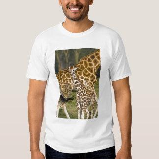 Africa. Kenya. Rothschild's Giraffe baby with Tee Shirts