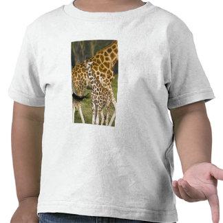 Africa. Kenya. Rothschild's Giraffe baby with T-shirts