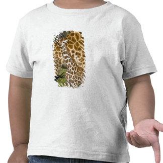 Africa. Kenya. Rothschild's Giraffe baby with Shirts