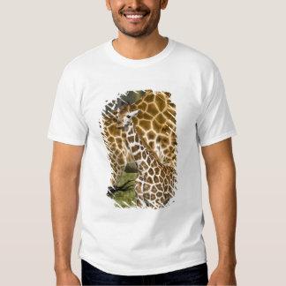 Africa. Kenya. Rothschild's Giraffe baby with Tshirts
