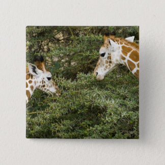 Africa. Kenya. Rothschild's Giraffes at Lake 15 Cm Square Badge