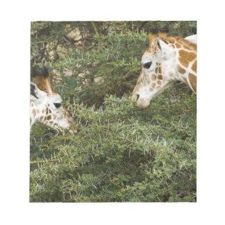 Africa. Kenya. Rothschild's Giraffes at Lake Notepad