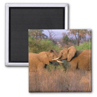Africa, Kenya, Samburu. Elephant challenge Magnet