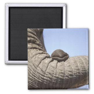 Africa, Kenya, Samburu. Elephant trunk Magnet