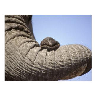 Africa, Kenya, Samburu. Elephant trunk Postcard
