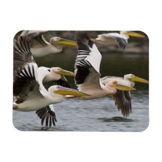 Africa. Kenya. White Pelicans in flight at Lake Magnet