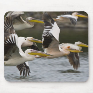 Africa. Kenya. White Pelicans in flight at Lake Mouse Pad