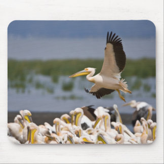 Africa. Kenya. White Pelicans on the shore of Mouse Mat