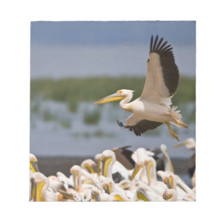 Africa. Kenya. White Pelicans on the shore of Notepad
