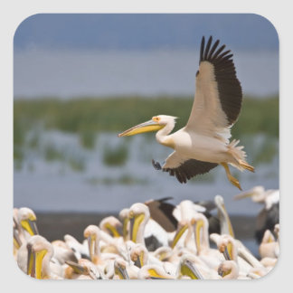 Africa. Kenya. White Pelicans on the shore of Square Sticker