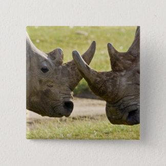 Africa. Kenya. White Rhinos fighting at Lake 15 Cm Square Badge
