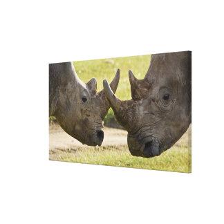 Africa. Kenya. White Rhinos fighting at Lake Canvas Print