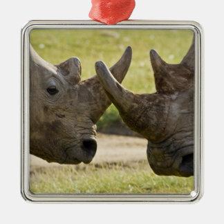Africa. Kenya. White Rhinos fighting at Lake Christmas Ornament