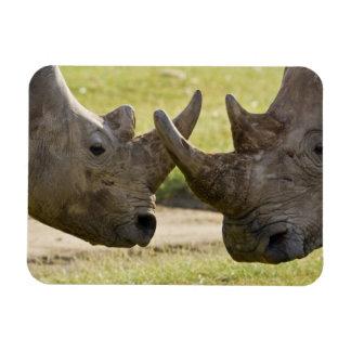 Africa. Kenya. White Rhinos fighting at Lake Magnet