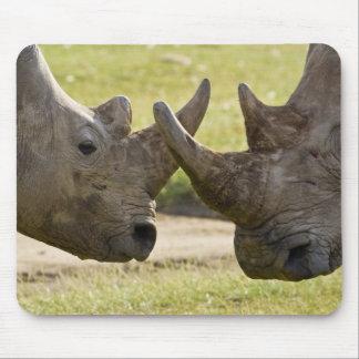 Africa. Kenya. White Rhinos fighting at Lake Mouse Mat