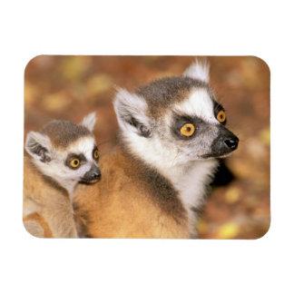 Africa, Madagascar, Berenty Private Reserve. Flexible Magnet