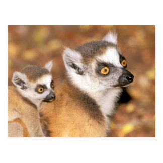Africa, Madagascar, Berenty Private Reserve. Postcard