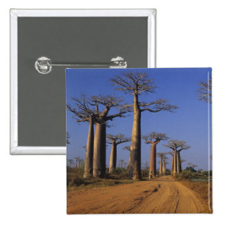 Africa, Madagascar, Morondava, Baobab Avenue. Buttons
