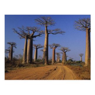 Africa, Madagascar, Morondava, Baobab Avenue. Postcard