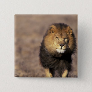 Africa. Male African Lion Panthera leo) 15 Cm Square Badge