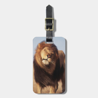 Africa, Male African Lion (Panthera Leo) Bag Tag