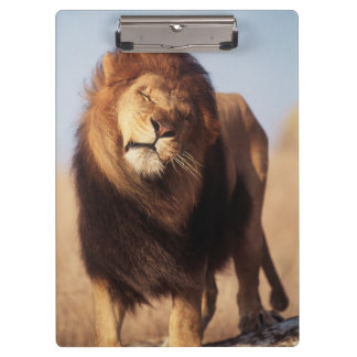 Africa, Male African Lion (Panthera Leo) Clipboard