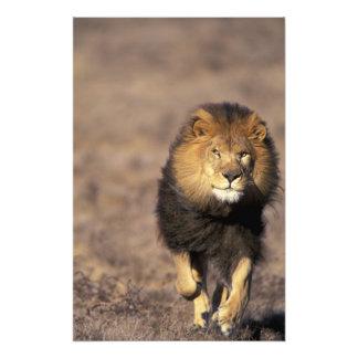 Africa. Male African Lion Panthera leo) Photo Print