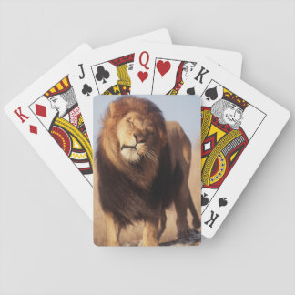 Africa, Male African Lion (Panthera Leo) Playing Cards