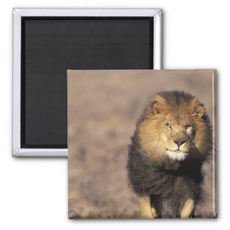 Africa. Male African Lion Panthera leo) Square Magnet