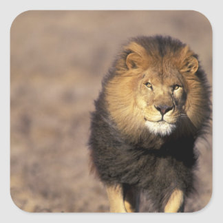 Africa. Male African Lion Panthera leo) Square Sticker