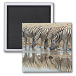Africa, Namibia, Etosha NP. Burchell's Zebra Square Magnet