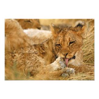 Africa, Namibia, Etosha NP. Lion Panthera Photo Art