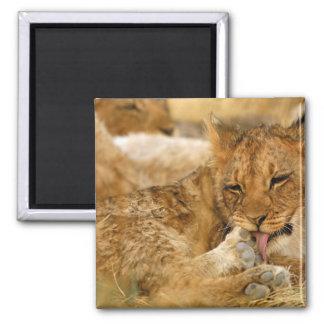 Africa, Namibia, Etosha NP. Lion Panthera Square Magnet