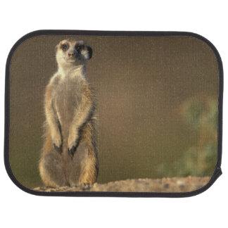 Africa, Namibia, Keetmanshoop, Meerkat (Suricate Car Mat